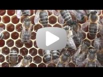 Varroa der generer en Bi